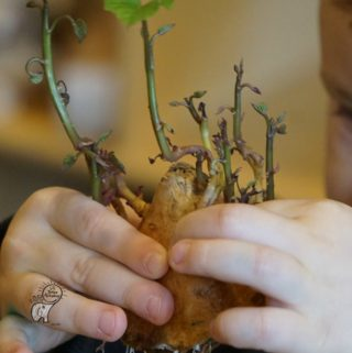 Preschool Science Fair Growing Sprouted Sweet Potatoes